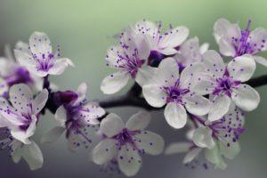 blossom-839594_1920
